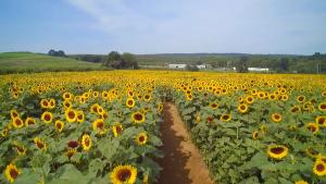 sunflower-farm-in-CT