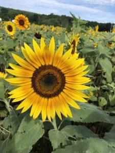 sunflower field ct