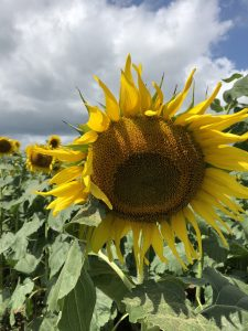 sunflower-farms