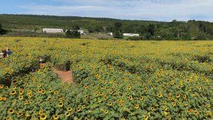 sunflower maze middlefield ct